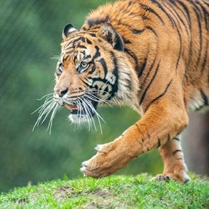Bandar the tiger