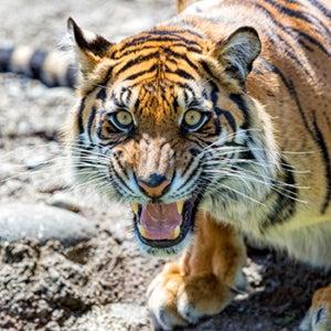 tiger Kali roaring