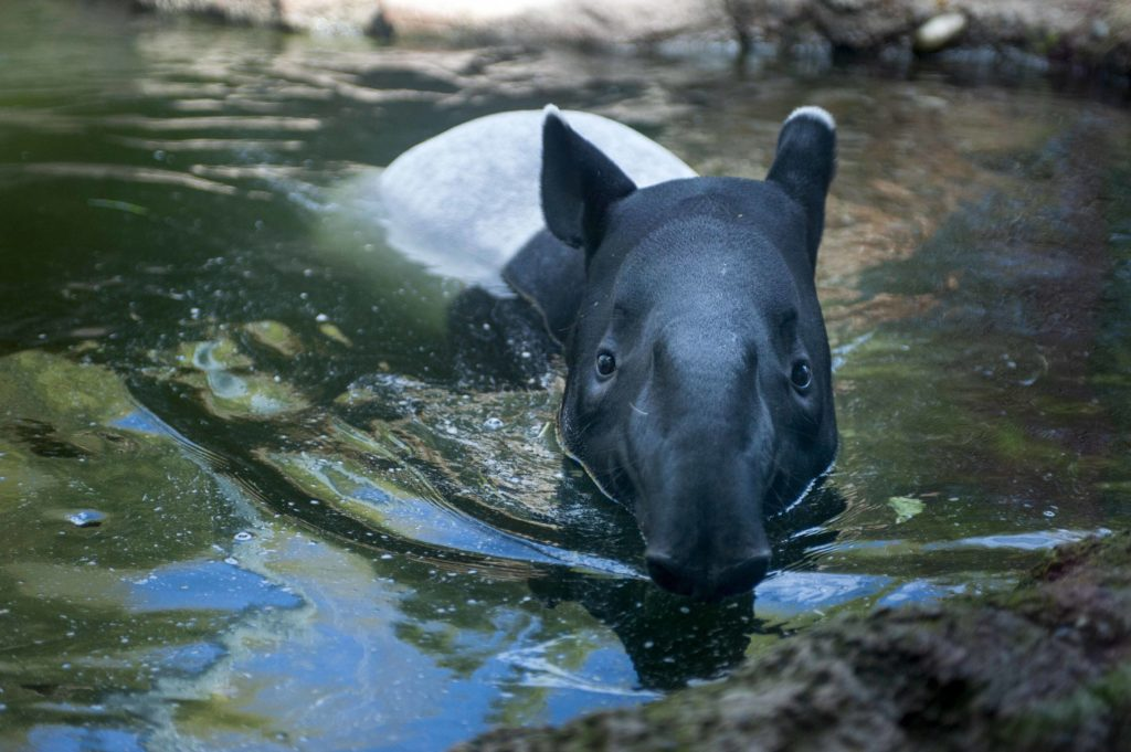 Baku the tapir in the pool