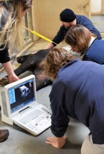 Vets and keepers at a tapir ultrasound