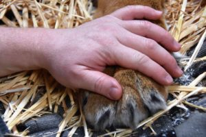Hand on tiger paw