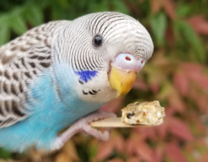 Dragons, Dinosaurs and Tim Tams: Meet the Budgies - Point
