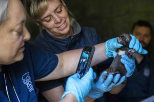 red wolf pup and vet with phone