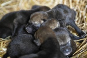 litter of red wolf pups