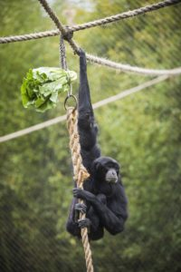 Cho cho the siamang hanging from rope