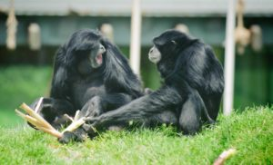 two siamangs