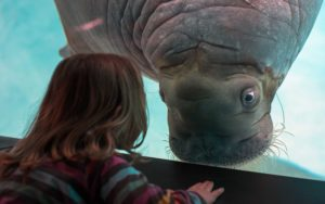 Joan the walrus looking at a girl