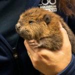 beaver kit in hand