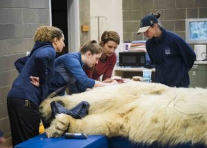 getting hair samples at polar bear exam