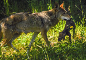 red wolf mom carrying pup