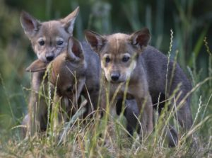 red wolf pup trio