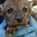 red wolf pup face close
