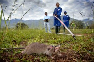 rat detecting landmines