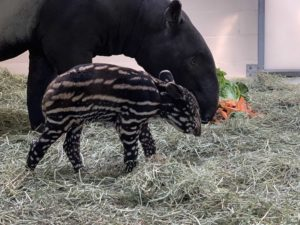 tapir calf mom veggies