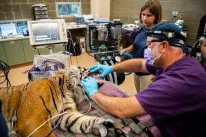 dentist working on tiger