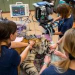 veterinarians around tiger