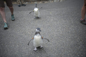 penguin chicks walking