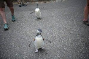 penguin chicks walking