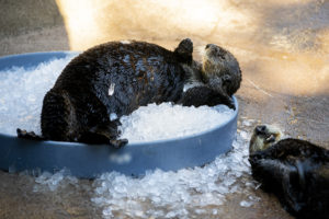 sea otters on ice