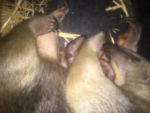 tamandua mom and pup