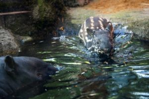tapir calf swimming
