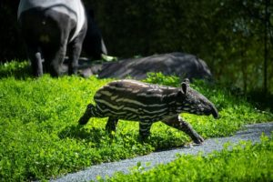 tapir calf walking