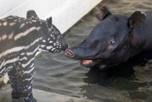 tapir calf and mom in pool