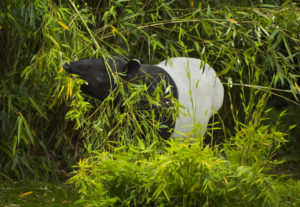 tapir in bamboo