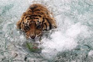 tiger splashing in water