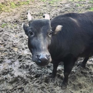 anoa in mud