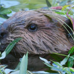 beaver kit butternut in grass