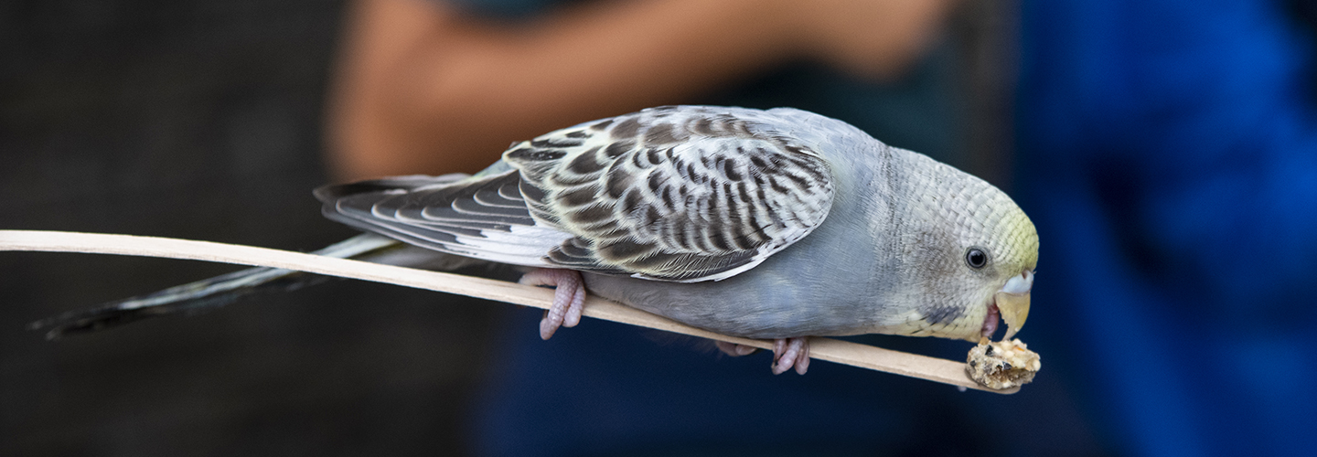 Brand-new budgies - Point Defiance Zoo & Aquarium