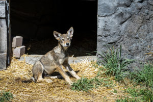 red wolf pup on straw