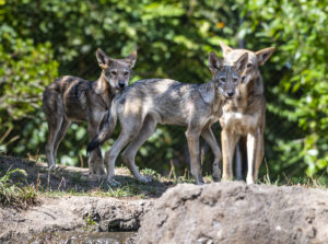 red wolf pups on rock