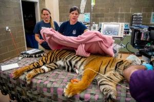 vet tech sara with tiger