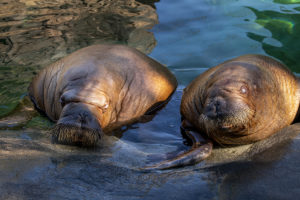 two walruses in water