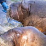 walrus training basa kulu