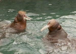 walrus mitik pakak in poo