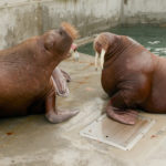two walruses on pool deck