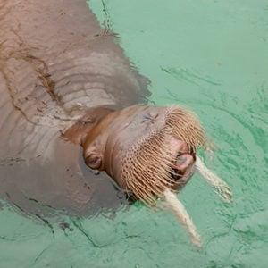 walrus pakak in pool