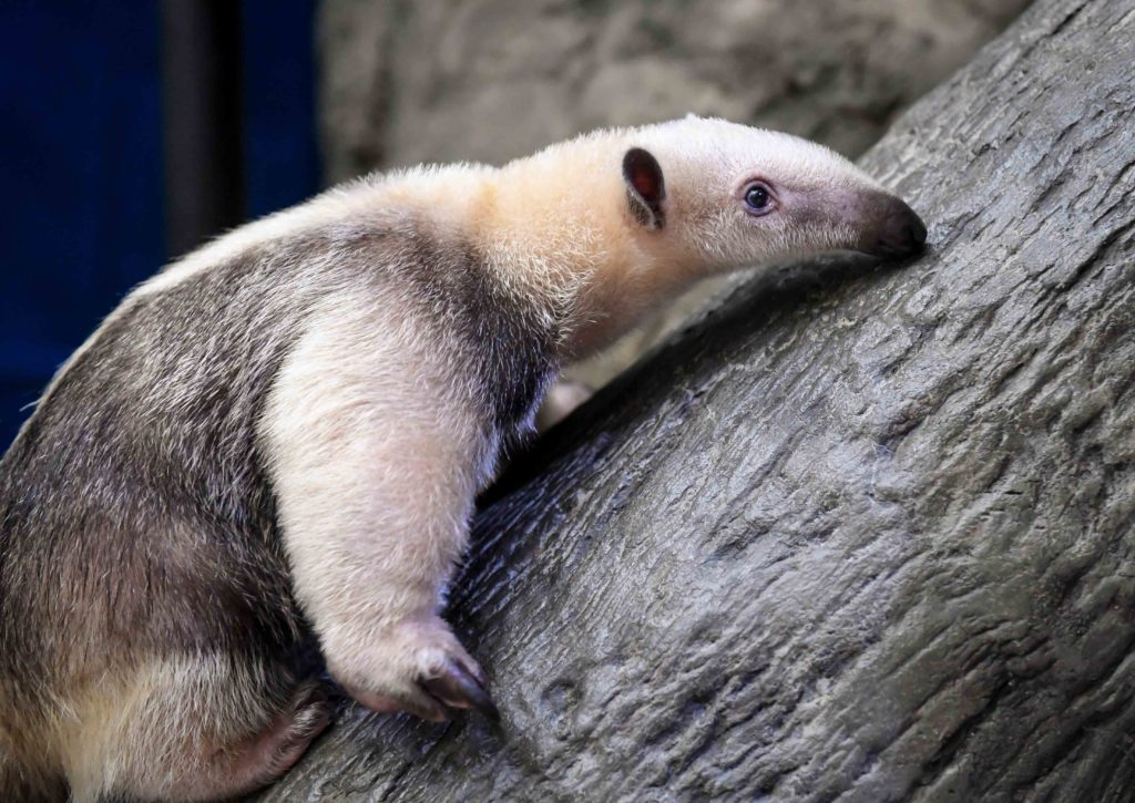 chiquita the tamandua