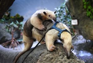tamandua baby on mom's back on tree
