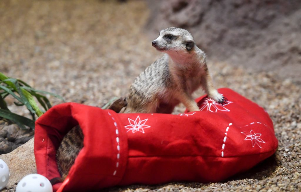meerkat on top of stocking