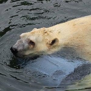 polar bear in pool