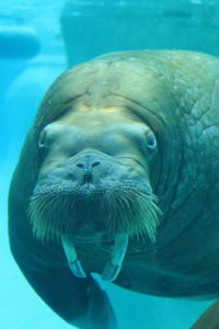 walrus swimming in exhibit
