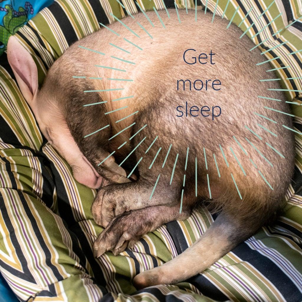 aardvark curled up