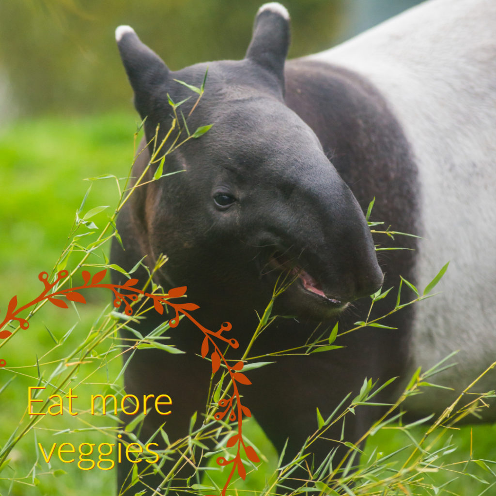 tapir calf eats vegetation