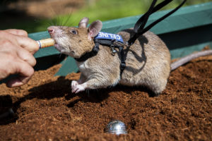 rat eating baby food