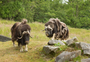 two muskox on hill