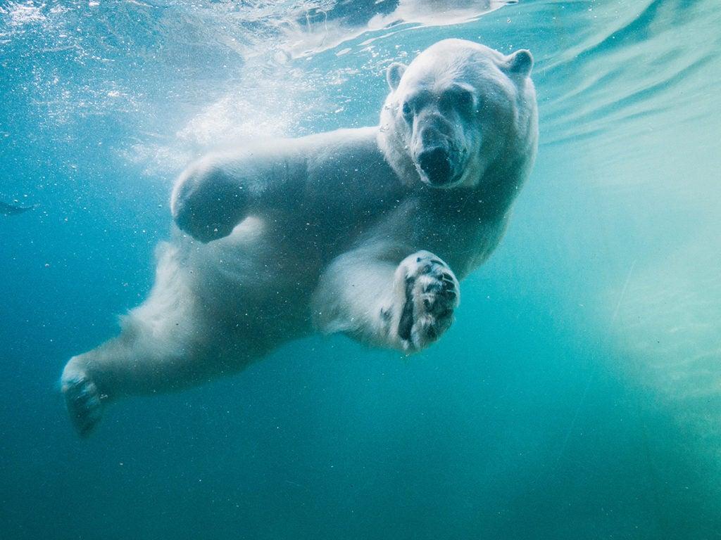 polar bear blizzard in pool